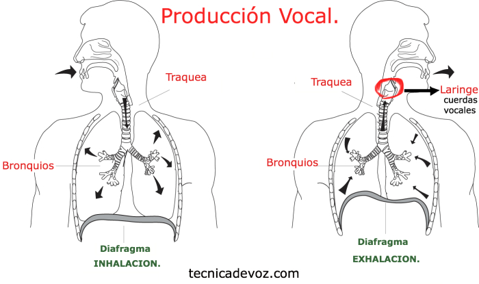 produccion vocal anatomia